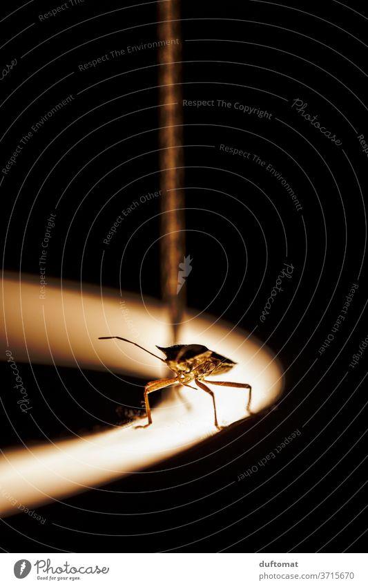 Wanze auf der Lampe macro shot Macro licht beleuchtet Käfer close Makroaufnahme Nahaufnahme Macro shot Insekt insect Macro shooting insects ring leuchtring