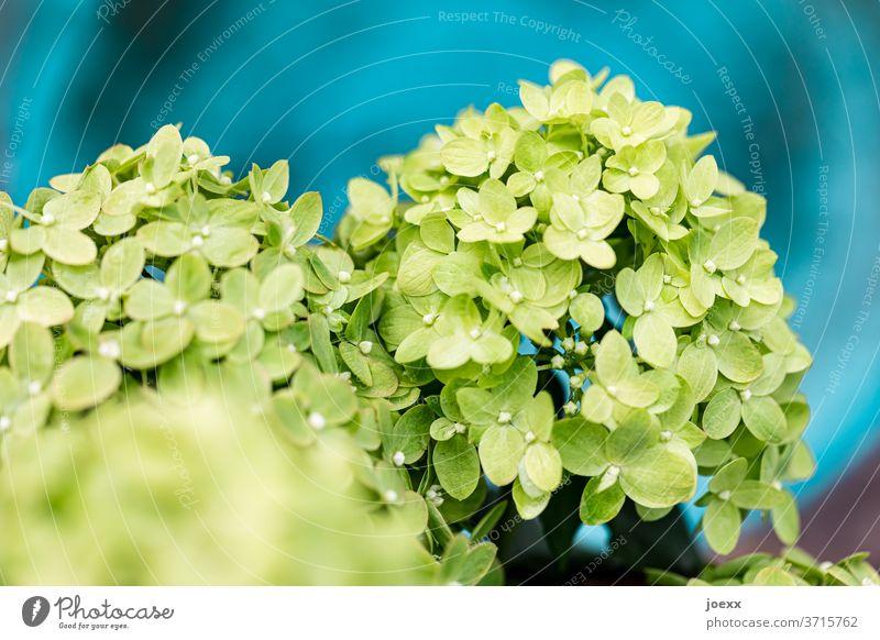 Nahaufnahme von grüner Rispen-Hortensie vor blauem Hintergrund Hortensienblüte Pflanze Blüte Blühend Außenaufnahme Farbfoto Blume Detailaufnahme Garten