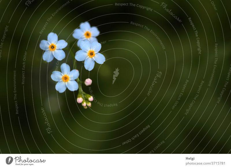 Vergissmeinnicht-Blüten und -Knospen vor dunkelgrünem Hintergrund Blume Wildblume Pflanze Natur Sommer Blühend Nahaufnahme Außenaufnahme Schwache Tiefenschärfe