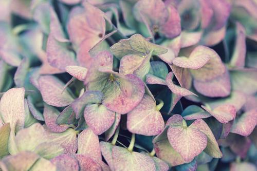 Nahaufnahme von rosa gelb blauen Hortensienblüten Pflanze Blüte Blühend Farbfoto Blume Detailaufnahme Garten Schwache Tiefenschärfe
