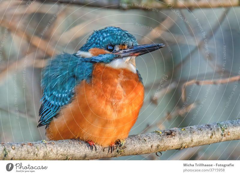 Eisvogel im Sonnenschein Alcedo atthis Auge Schnabel Federn Gefieder Flügel Vogel Tier Wildtier Natur Zweige u. Äste Sonnenstrahlen leuchtende Farben Strahlen