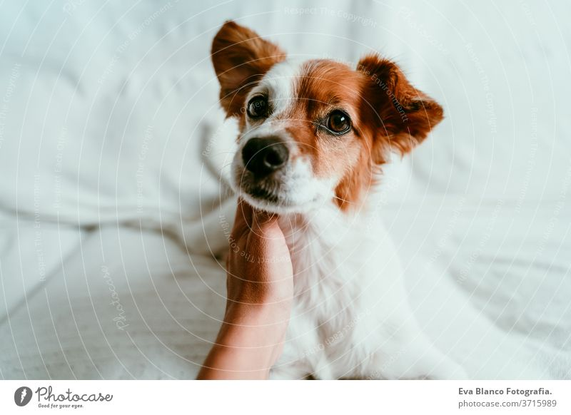 Frauenhand, die einen süßen, entspannten Jack-Russell-Hund berührt, der auf dem Sofa liegt, sich ausruht und entspannt. Haustiere im Haus Bett heimwärts