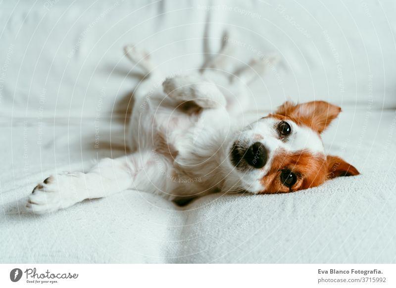 süßer Jack-Russell-Hund, der auf dem Sofa liegt, sich ausruht und entspannt. Haustiere im Haus Bett heimwärts jack russell aussruhen schlafen müde zurücklehnend
