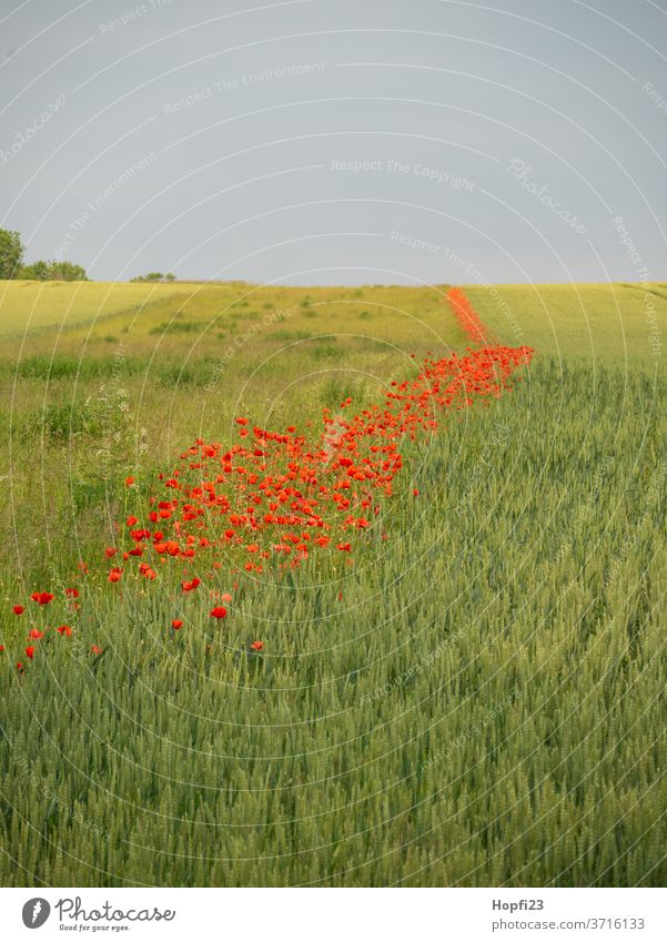 Mohnblumen streifen im Feld Mohnblüte Mohnfeld Weizen Weizenfeld Himmel Wolken Wolkendecke rot grün Ackerland bestellt mohnblumen Sommer