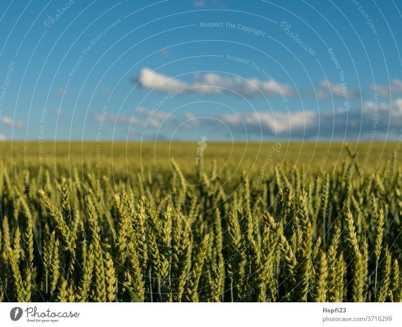 Weizenfeld Korn Kornfeld Getreide Feld Landwirtschaft Sommer Natur Getreidefeld Ackerbau Ähren Nutzpflanze Ernährung Wachstum Pflanze Außenaufnahme Lebensmittel