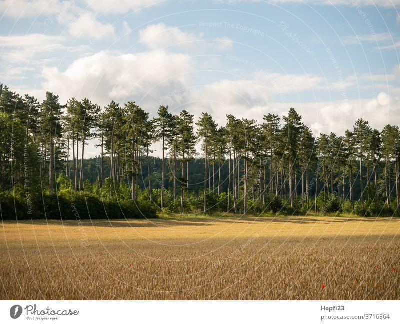 Kiefern Wald baum Sommer sonne Sonnenschein grün Himmel blau Wolkenloser Himmel groß alt Natur Baum Außenaufnahme Landschaft Farbfoto Menschenleer Tag Pflanze
