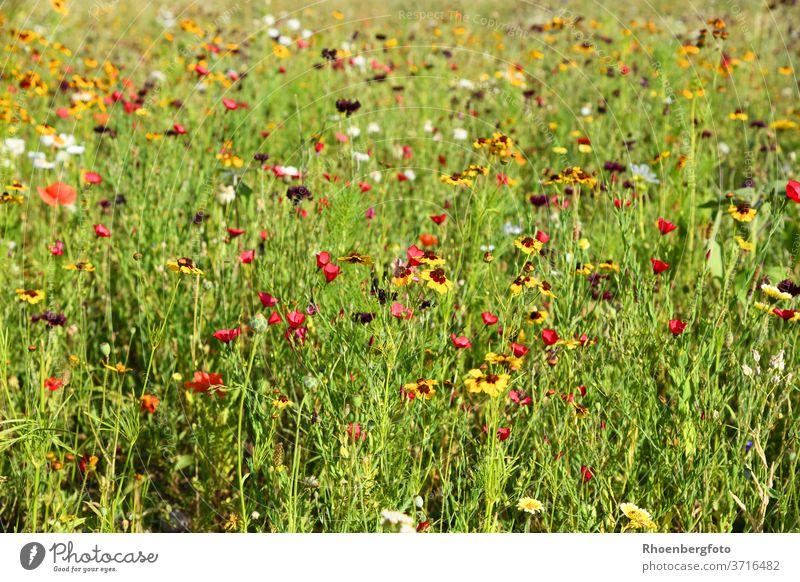 Bunt gemischte Sommerblumen-Wiese wiese Blumenwiese rot gelb weiß mischung sorte samen sähen juli august blüten blühen insekten nektar pflanzen garten rasen