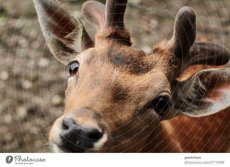 Damhirsch blickt in die Kamera. Nahaufnahme Damwild damhirsch wildtier augen hungrig Tier Tierporträt Fell Natur Tiergesicht Blick in die Kamera Neugier