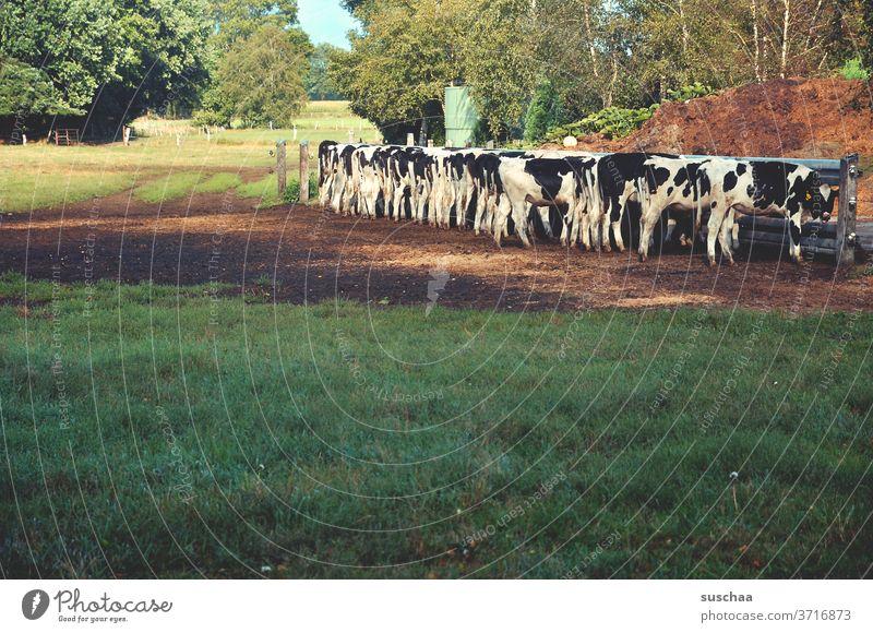 kühe auf der weide beim fressen Kühe Weide gefüttert werden Tierhaltung Natur Landwirtschaft Bauernhof Nutztier Wiese Gras Fressen Kuh Rinder Herde Umwelt