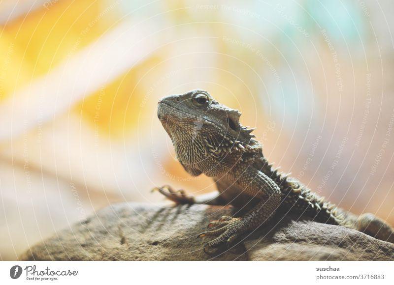 kleiner drache auf einem felsen Drache Felsen Leguan Echse Bartagame Reptil urzeitlich Tier exotisch Wildtier Zoo Wüste Gehege Schuppen Klauen Tierporträt