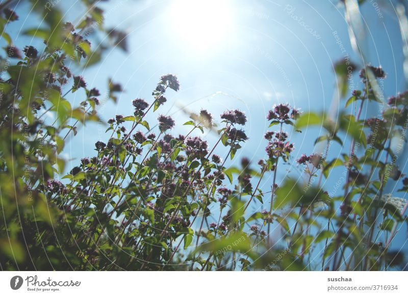 sommer, sonne und eine blumenwiese Sommer sommerlich Wiese Blumenwiese Wiesenblumen Sonne Sonnenlicht wärmend Wärme wachsen Wachstum Pflanzen Photosynthese