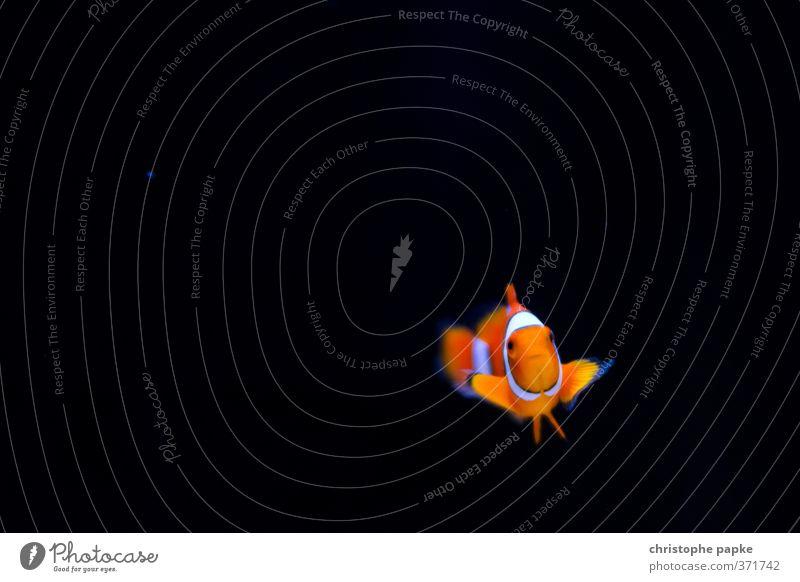 Gefunden... (Nemo) Tier Haustier Fisch Tiergesicht Aquarium 1 Schwimmen & Baden niedlich Clownfisch Farbfoto Innenaufnahme Nahaufnahme Unterwasseraufnahme