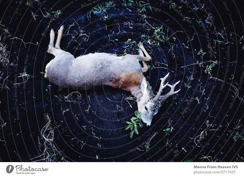 Vom Jäger erlegter Hirsch in Transsylvanien Hirsche Spiel Jagd Totes Tier Trophäe Transsilvanien Horn Wildtier Natur Tierwelt Rumänien