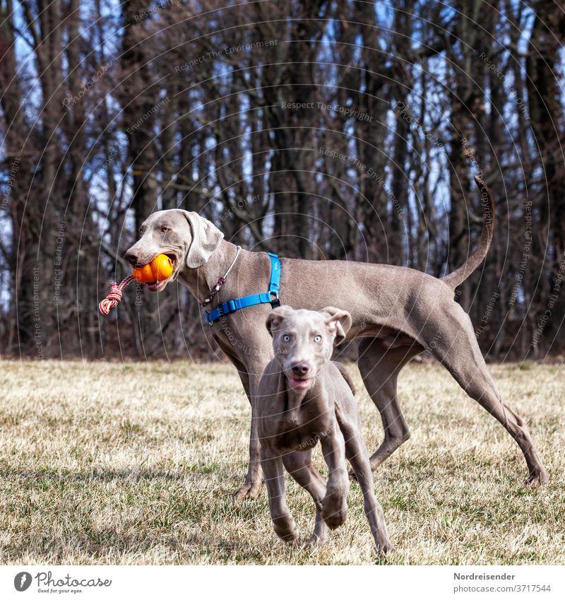 Zwei Weimaraner Jaghunde im Spiel auf einer Wiese am Waldrand weimaraner welpe vorsteherhund rüde haustier hübsch jagdhund portrait reinrassig zwei gras jung