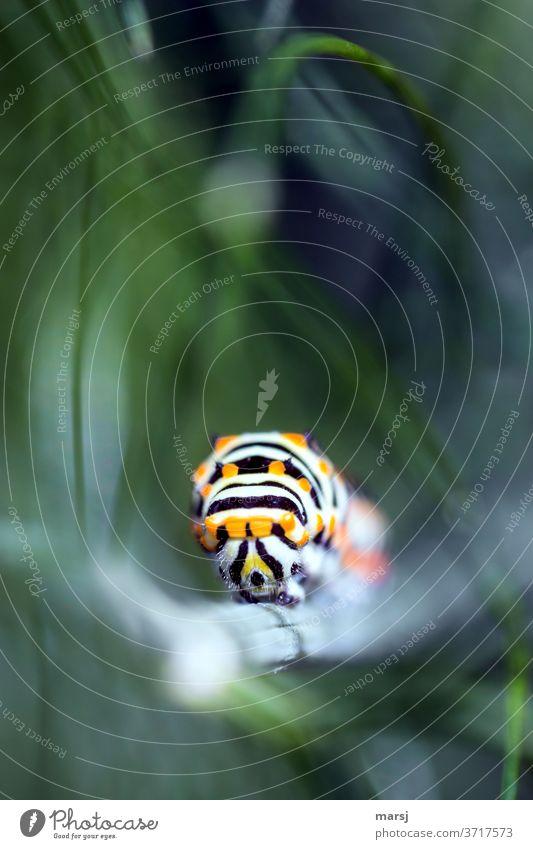 Vorfreude   Rüebliraupe auf dem Vormarsch und wird bald zum Schwalbenschwanz Papilionidae Raupe Bunt Tier Wildtier Natur 1 Insekten fressen grün Farbfoto