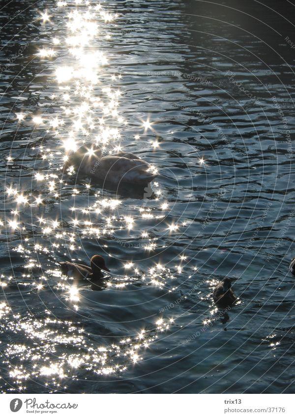 schwäne im glitzernden sonnenlicht2 Wasser schön Sonne ruhig Tier glänzend Ente Schwan