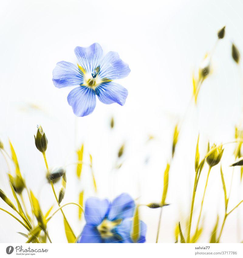 hellblau zarte Leinblüten Blüten Blumen grün Blühend weiß Nahaufnahme Natur Pflanze Sommer Menschenleer Nutzpflanze Flachs Hintergrund neutral