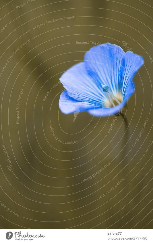 Leinblüte Blüte Blume Flachsblüte Pflanze Natur Blühend Sommer Schwache Tiefenschärfe Nutzpflanze Duft hellblau zart Farbfoto Menschenleer Makroaufnahme