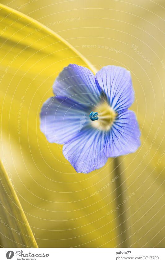 zartes Blau einer Leinblüte Blüte Flachsblüte Natur Blume Pflanze blau Schwache Tiefenschärfe Nutzpflanze filigran Blühend Sommer Farbfoto Duft ästhetisch