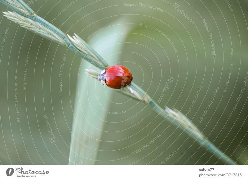 ohne Punkte Natur Marienkäfer Käfer Asiatischer Marienkäfer Coleoptera Blatt Grashalm Pflanze Kontrast klein krabbeln Insekt Makroaufnahme