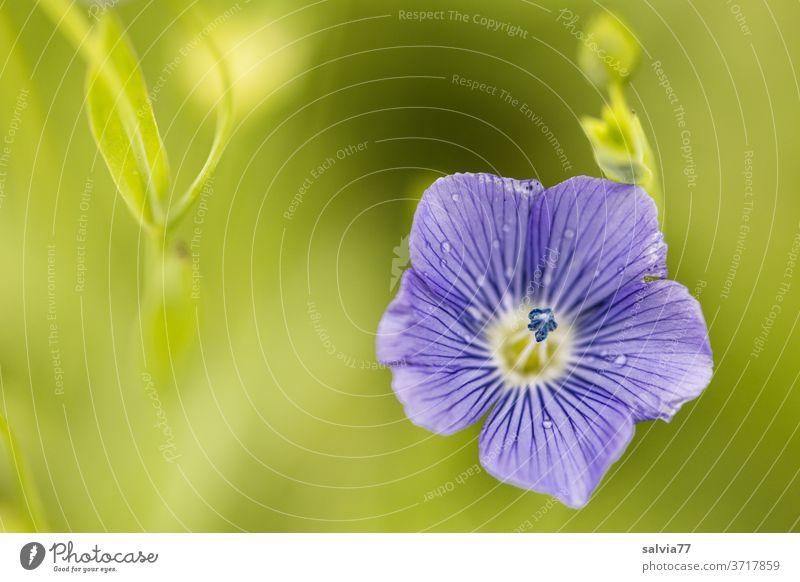 Nahaufnahme einer Leinblüte Blüte Natur Nutzpflanze Pflanze blau grün Sommer Blühend Duft Blume zart fein filigran schön ästhetisch Wachstum