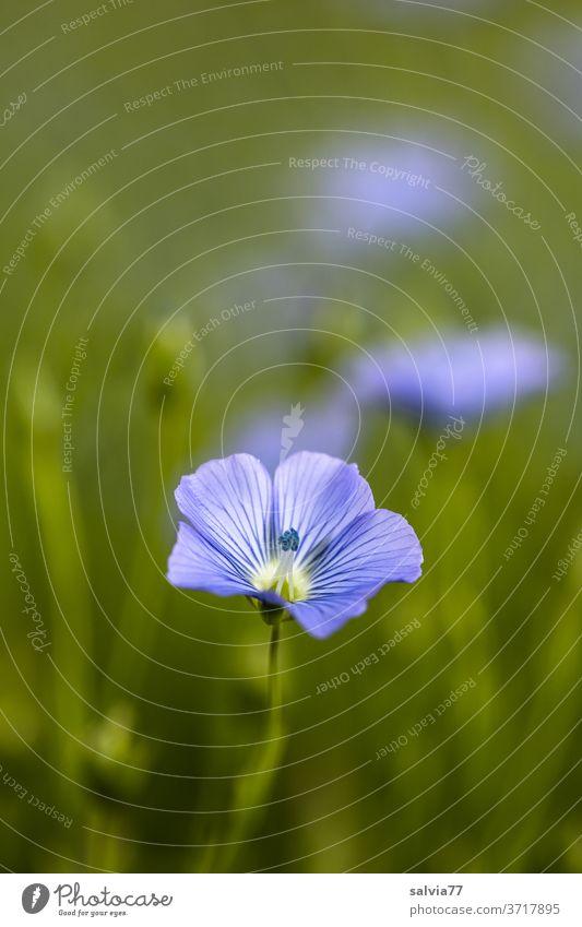 Leinblüten, hellblau und zart Natur Blumen Pflanze Blüte Sommer Blühend Blumenwiese grün Farbfoto Wiese Außenaufnahme Wachstum natürlich Feld Nutzpflanze schön