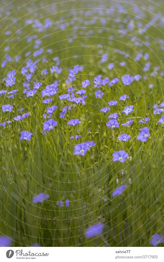 Flachsfeld Lein Natur Nutzpflanze Feld Acker Pflanze Leinacker Blume Blühend Blüte Duft Linum usitassimum Sommer Wachstum Menschenleer blau grün Leinsamen