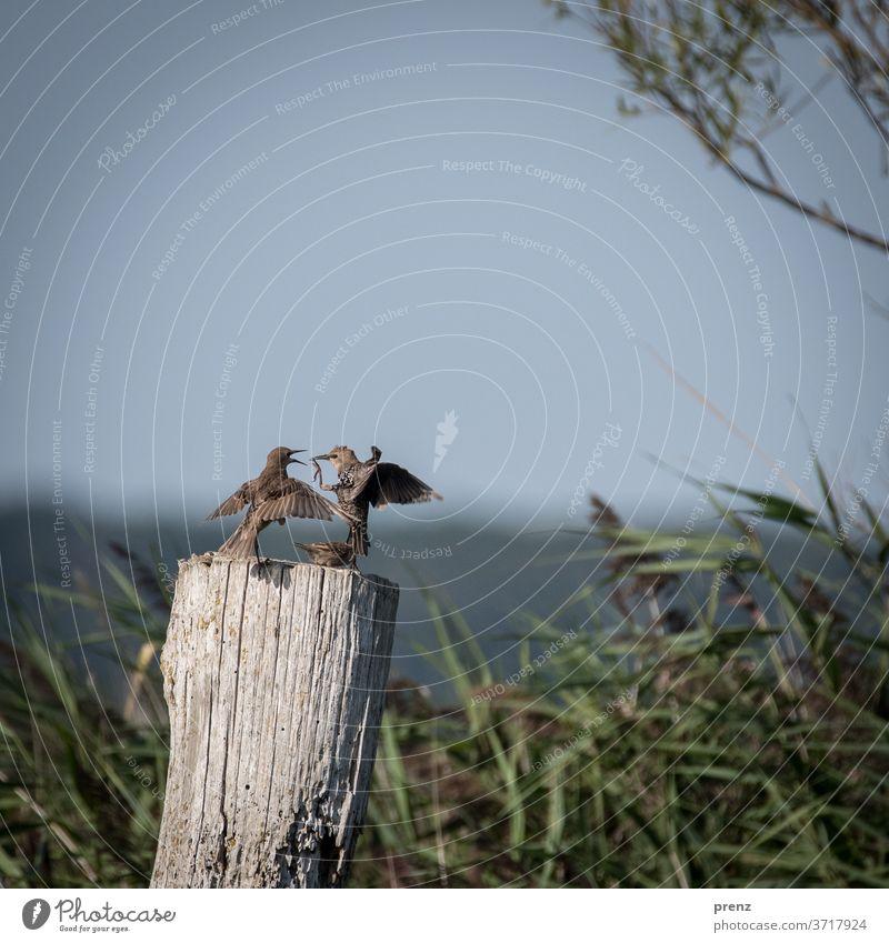 Stare Vogel Bodden Farbfoto Menschenleer Natur Umwelt Wildtier zwei lustig Kommunikation flattern