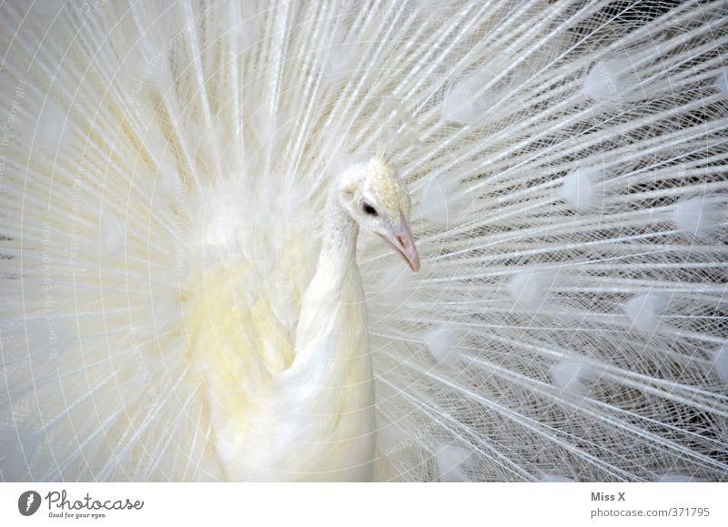 Pfau Tier Vogel Flügel 1 schön weiß Gefühle Laster Hochmut Stolz eitel Albino Pfauenfeder Metallfeder Farbfoto Gedeckte Farben Nahaufnahme Muster Menschenleer