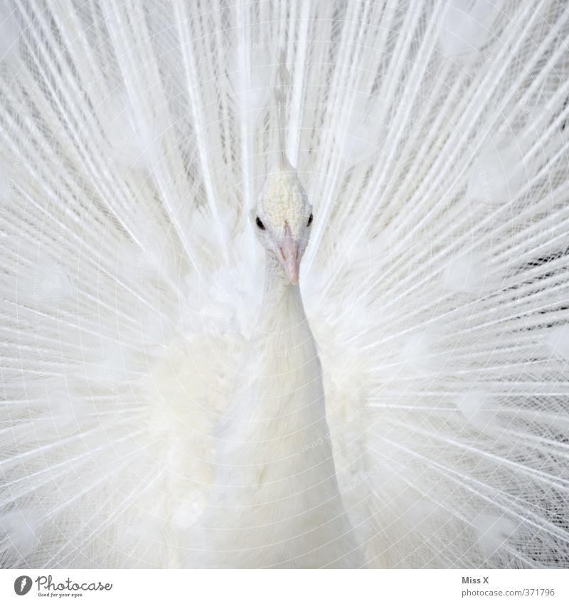 Weißer Pfau Tier Vogel 1 schön weiß Stolz eitel rein Albino Pfauenfeder Farbfoto Nahaufnahme Detailaufnahme Muster Menschenleer Textfreiraum links