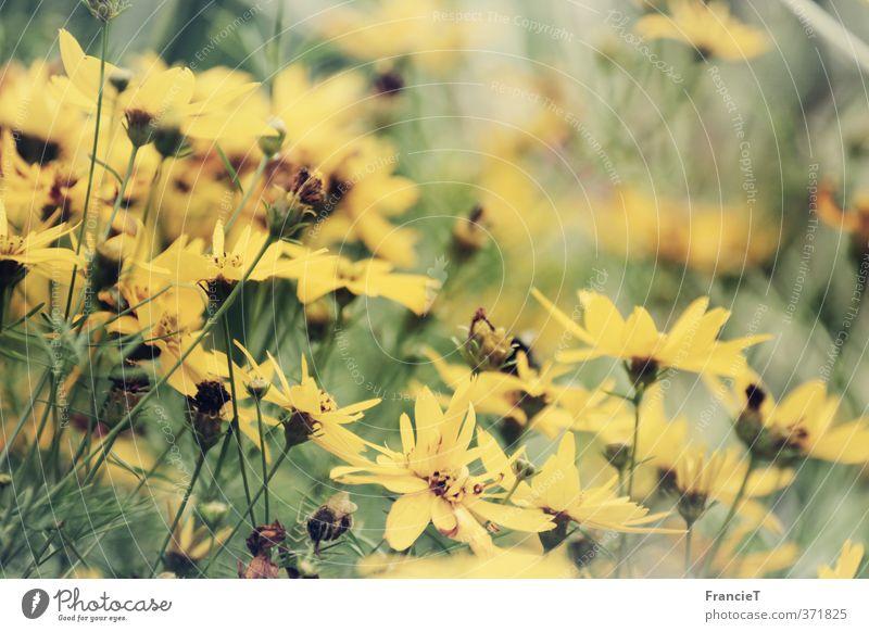 Sommerblumen Natur Pflanze Wind Blume Blüte Topinambur Garten Park Blühend Duft Wachstum dünn natürlich positiv retro schön weich gelb grün Glück Fröhlichkeit