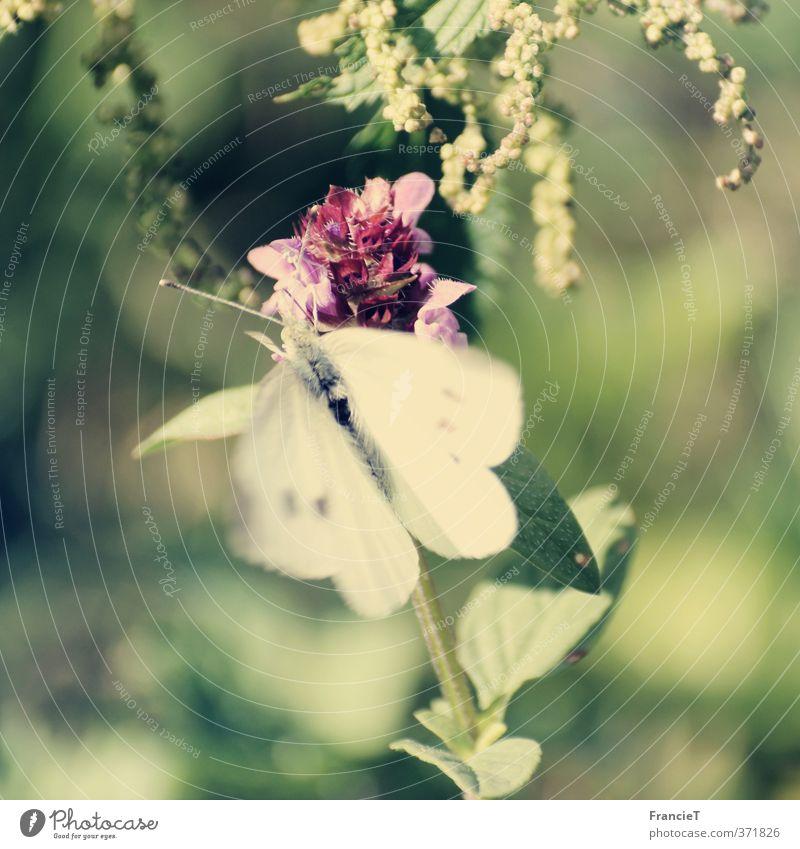 Butterfly Natur grün weiß Sommer Pflanze Blume Tier Blatt Wärme Bewegung Freiheit Glück Blüte Garten natürlich Park