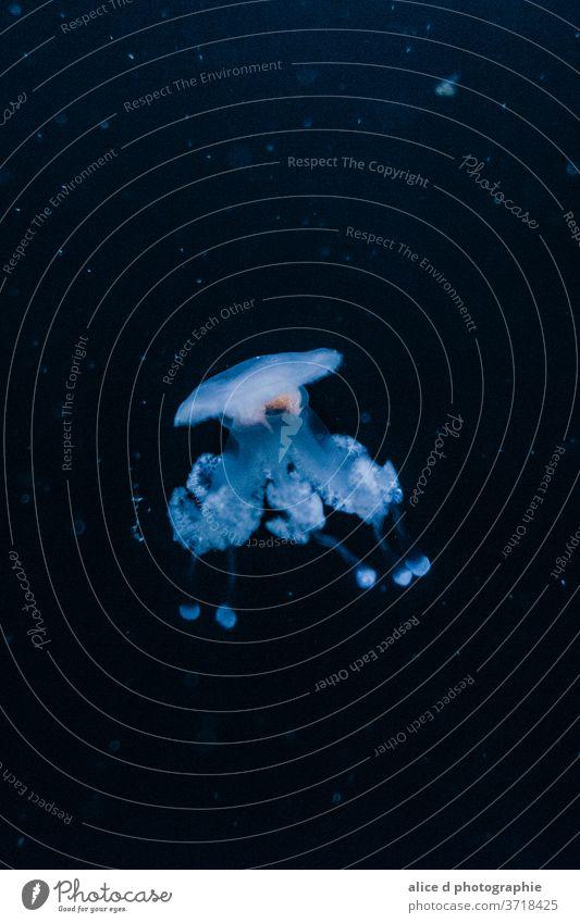 Quallen durch ein Aquariumfenster gesehen blau schwarz Meer Sealife Wasser Tier Unterwasseraufnahme Farbfoto Natur Wildtier Tiergruppe Sinkflug unter Wasser