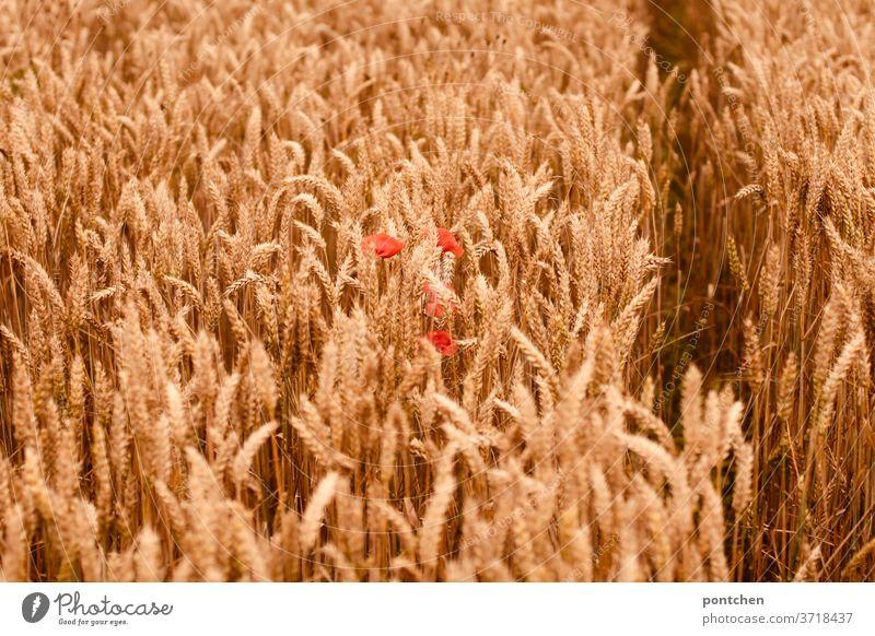 Ein Kornfeld mit mohnblumen im Sommer. Landwirtschaft getreide landwirtschaft gerste weizen ähren getreideähren sommer Natur Ackerbau Getreidefeld Feld