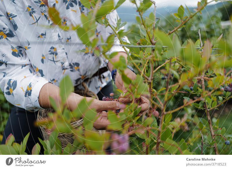 Frau pflückt Holunderbeeren Garten sommer Natur Sommer Pflanze Blüte Blume Außenaufnahme Farbfoto Tag Umwelt Bauern Gartenarbeit Blühend Blatt Nahaufnahme