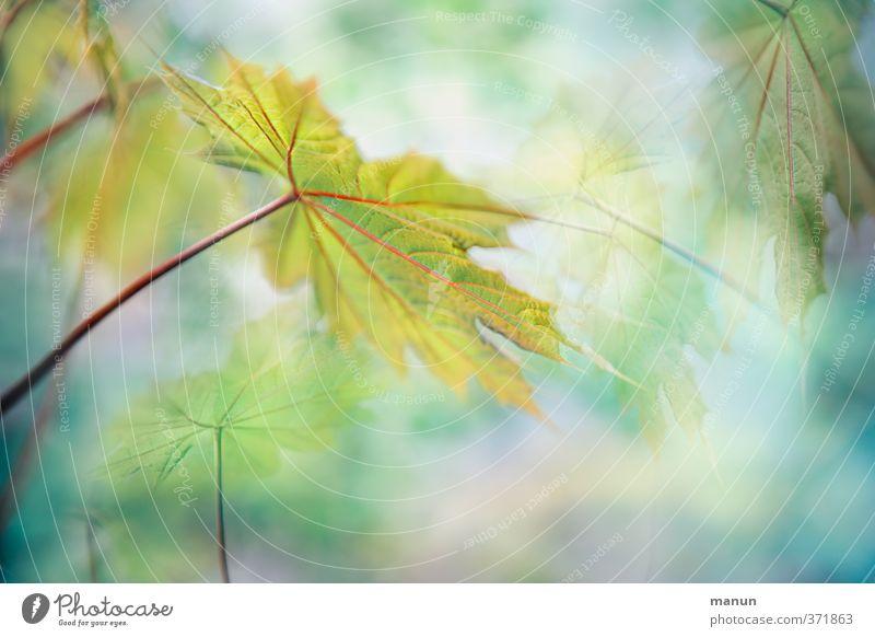 immer zum Licht hin Natur Frühling Sommer Herbst Pflanze Baum Blatt Ahornblatt Ahornzweig Zweige u. Äste fantastisch hell natürlich positiv Romantik ruhig