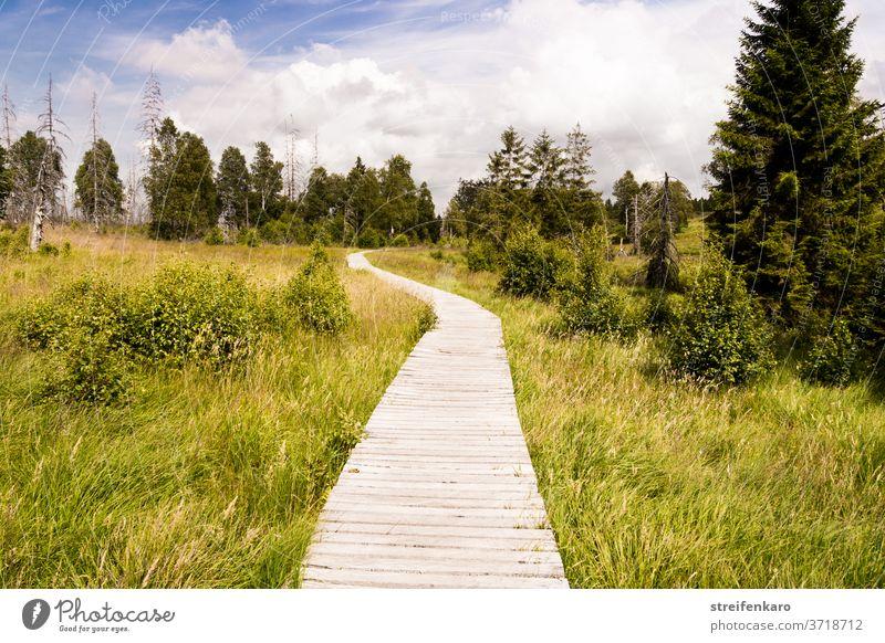 Der Holzsteg im Hohen Venn schlängelte sich durch das grüne Gras und verschwand zwischen den Bäumen Hohes Venn Belgien Naturschutzgebiet Moor Hochmoor