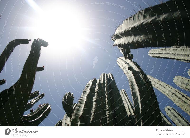 thirsty Blauer Himmel Ferien & Urlaub & Reisen träumen Süden durstig Physik Afrika cactus cacteen cacti sun Sonne blue skies sky blaue luft contrast Kontrast