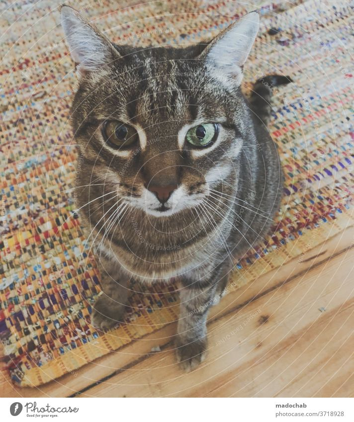 David Bowie Katze Kater Haustier Tier Tierportrait Tierporträt Fell Hauskatze Blick Katzenauge