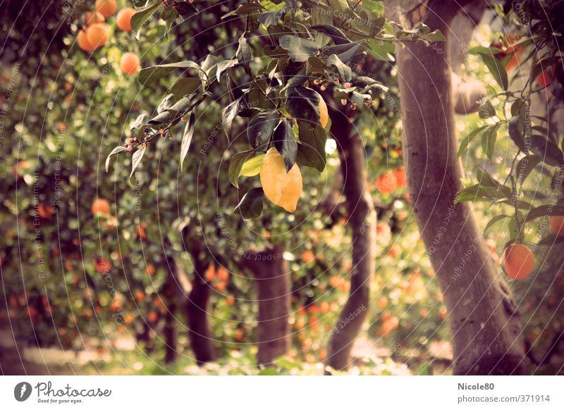 Mediterrane Gartenfrüchte II Natur Sonne Sommer Wärme Zitrone Zitronenbaum Zitrusfrüchte Mallorca Plantage Frucht sauer vintage Farben Retro-Farben Farbfoto