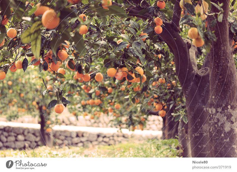 Mediterrane Gartenfrüchte I Umwelt Wärme Frucht Orange Baumstamm reif Spanien Reifen altehrwürdig Süden Mallorca Gartenbau Plantage Obstbaum Retro-Farben