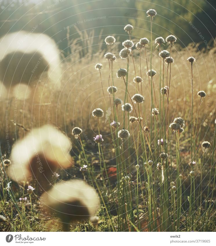 Köpfchen Wiese Pflanze Sommer Außenaufnahme Natur Umwelt Schönes Wetter Schwache Tiefenschärfe natürlich Sonnenlicht blühen Idylle geheimnisvoll viele klein