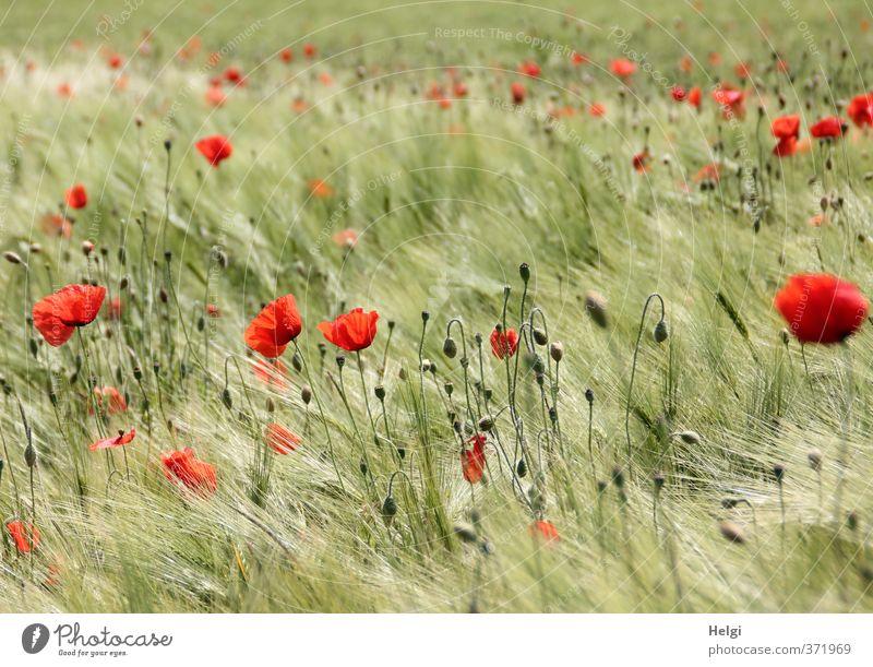sommerlich... Umwelt Natur Landschaft Pflanze Sommer Schönes Wetter Blume Blüte Nutzpflanze Wildpflanze Mohn Mohnblüte Kornfeld Gerste Gerstenfeld Blütenknospen