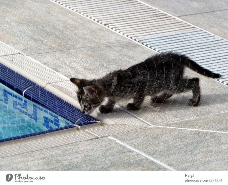Tier | mal gucken... Haustier Katze 1 Tierjunges Schwimmbad Fliesen u. Kacheln Blick stehen ästhetisch außergewöhnlich klein niedlich blau grau schwarz weiß