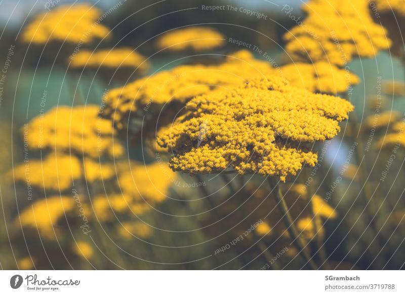 Goldgarbe, Schafgarbe gelb Korbblütengewächs korbblütler Gartenpflanzen Wiesenblume Blüte Farbfoto Blumenwiese Blühend Pflanze Natur Sommer Außenaufnahme warm