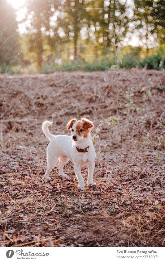 süßer kleiner Jack-Russell-Terrier-Hund bei Sonnenuntergang auf einem Feld. Goldene Stunde. Haustiere und Spaß im Freien jack russell goldene Stunde niemand