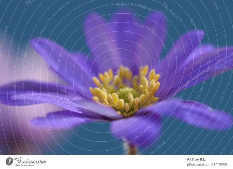 Blüte Makro makro blue gelb blume blüte garten natur stempel samen naturaufnahme zart filigran