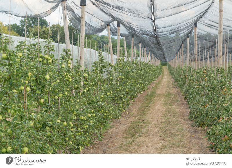 Apfelplantage mit einem Netz als Schutz Äpfel Apfelbäume Plantage Obstplantage Apfelernte Apfelbaum Frucht grün Ernte Ernährung Gesundheit Bioprodukte