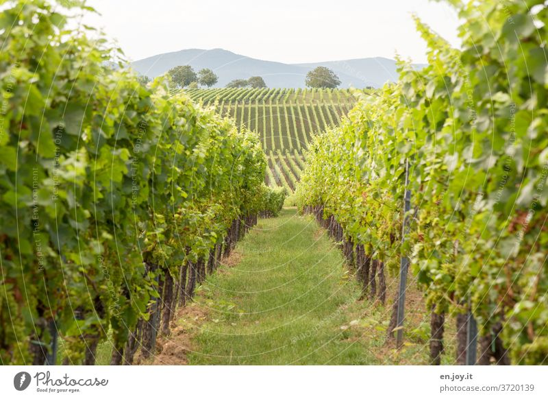 Weinberg bis zum Horizont Pfalz Rheinland-Pfalz Weinbau Reben Weinrebe Weitwinkel Wolken Landwirtschaft Himmel grün Idylle Weinreben Landschaft Wege & Pfade