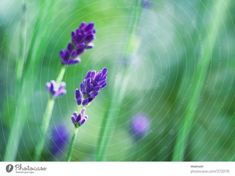 lavendel Natur Sommer Pflanze Sträucher Blüte Lavendel Duft natürlich violett Farbfoto Außenaufnahme Menschenleer Textfreiraum rechts Kontrast